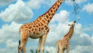 Photo of هل تعلم عن الزرافة .. الزرافة أطول الثدييات فى العالم