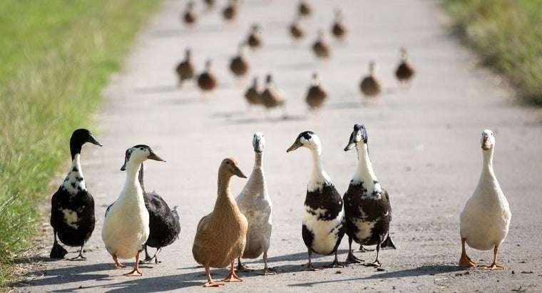 الفرق بين البط والوز