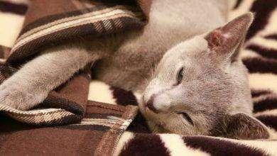 Photo of اعراض مرض الكبد عند القطط