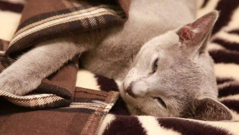 اعراض مرض الكبد عند القطط