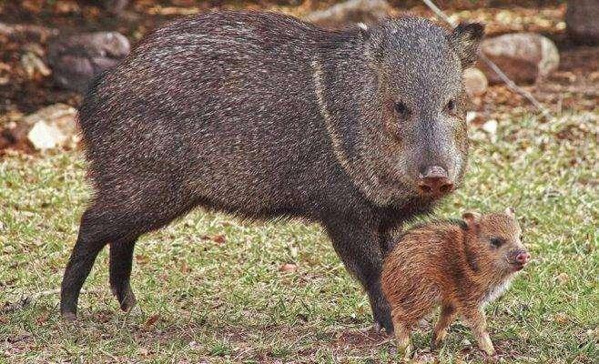بماذا تشتهر ولاية تكساس الأمريكية في الحيوانات