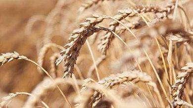 Photo of أعراض حساسية القمح