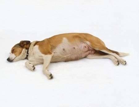 أعراض يوم الولادة عند الكلاب