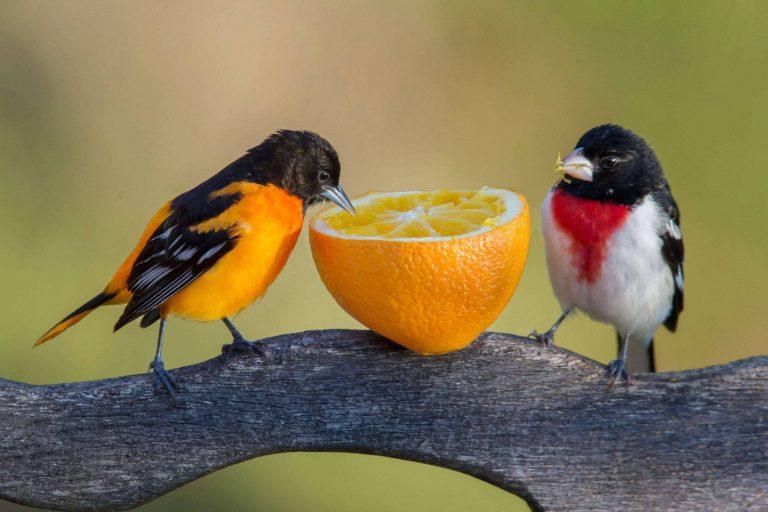 علاج مرض الكبد عند الطيور