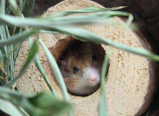 الفأر الكريتي الشائك