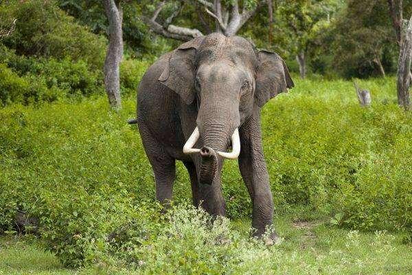 الفيل الآسيوي - بماذا تشتهر الصين في الحيوانات