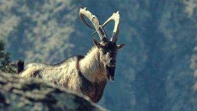 Photo of بماذا تشتهر أرمينيا في الحيوانات