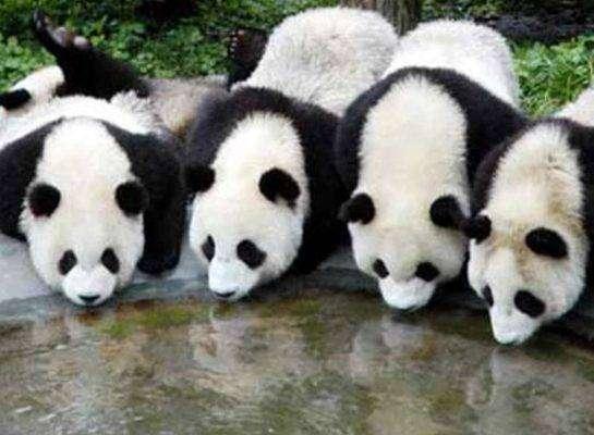 الباندا العملاق - بماذا تشتهر الصين في الحيوانات