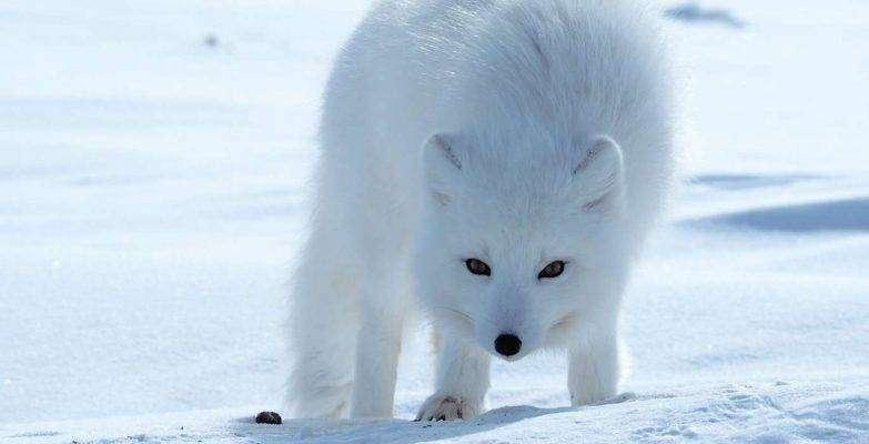 ثعلب القطب الشمالي