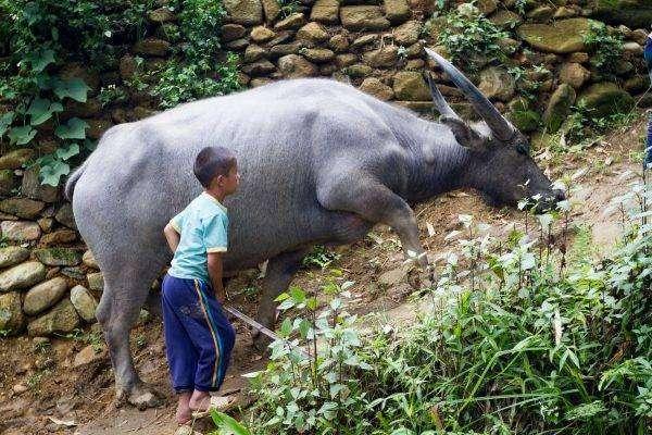 جاموس الماء - بماذا تشتهر فيتنام في الحيوانات