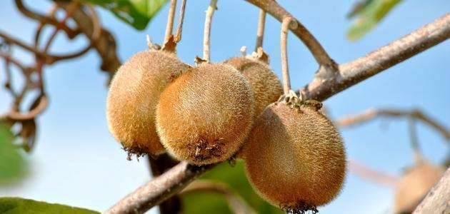 فاكهة الكيوي من أهم المحاصيل في نيوزيلندا