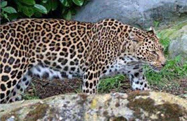 ليوبارد قوقازي - بماذا تشتهر أرمينيا في الحيوانات