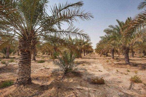بماذا تشتهر قطر في الزراعة