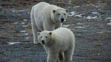 Photo of بماذا تشتهر روسيا في الحيوانات