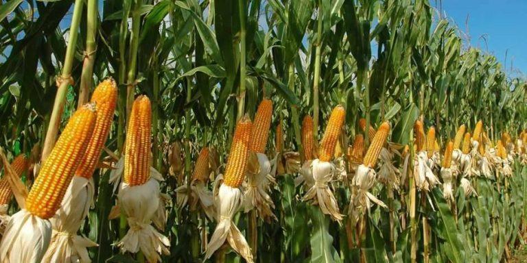 أهم المحاصيل المنتشرة في أمريكا