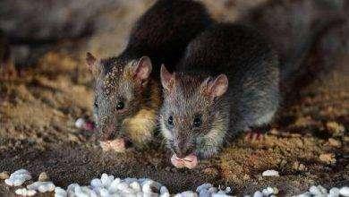 Photo of معلومات عن سم الفئران