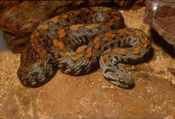 Armenian Mountain Viper - بماذا تشتهر أرمينيا في الحيوانات