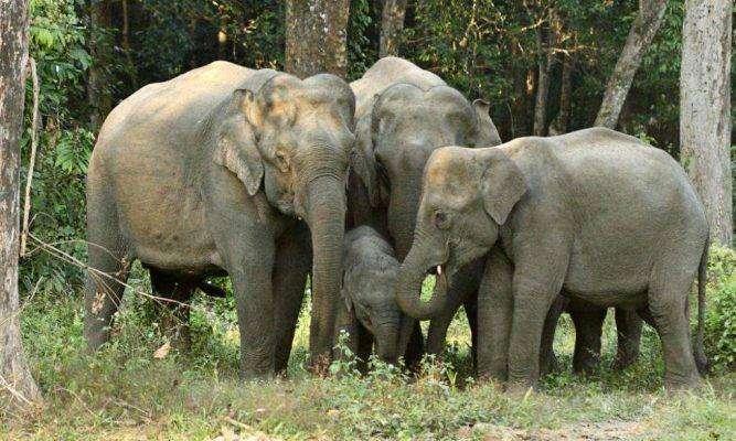 Asian Elephant - بماذا تشتهر تايلند في الحيوانات