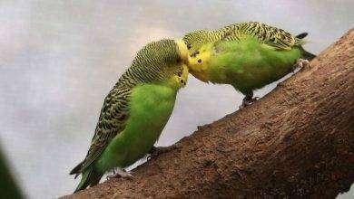Photo of كيف تعرف طيور البادجي الذكر من الانثى