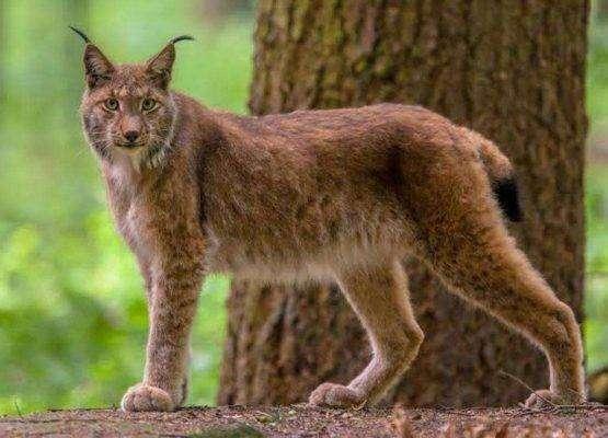 Eurasian lynx - بماذا تشتهر النمسا في الحيوانات