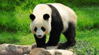 Photo of بماذا تشتهر الصين في الحيوانات