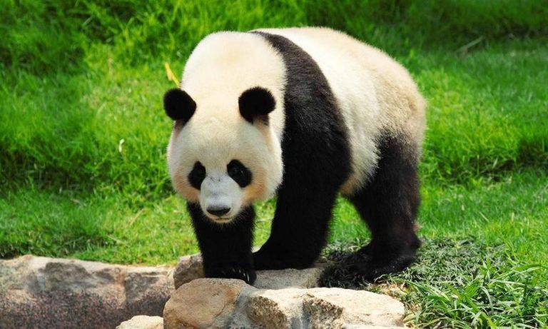 بماذا تشتهر الصين في الحيوانات