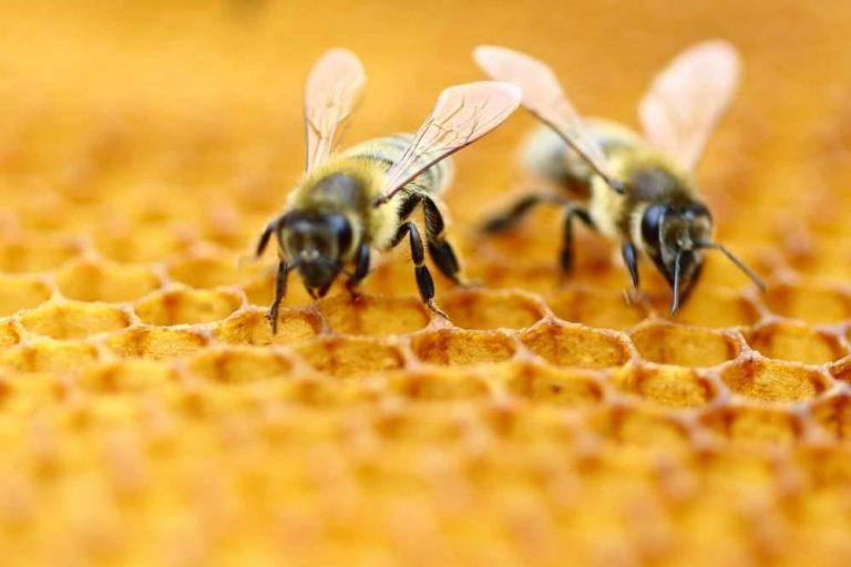 معلومات عن سم النحل