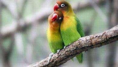 Photo of كيف تعرف طيور الحب الذكر من الانثى