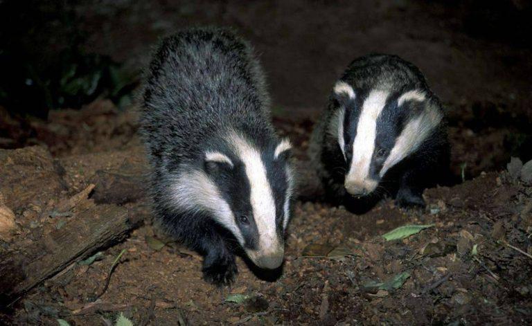 The Badger- بماذا تشتهر بلجيكا في الحيوانات