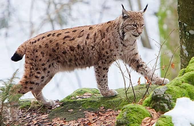 The Lynx- بماذا تشتهر بلجيكا في الحيوانات