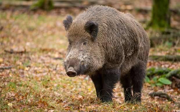 The Wild Boar- بماذا تشتهر بلجيكا في الحيوانات