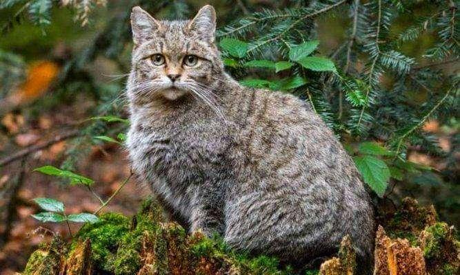 Wild cat - بماذا تشتهر النمسا في الحيوانات
