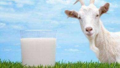 صورة فوائد حليب الماعز لزيادة الوزن
