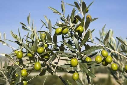 بماذا تشتهر اليونان في الزراعة