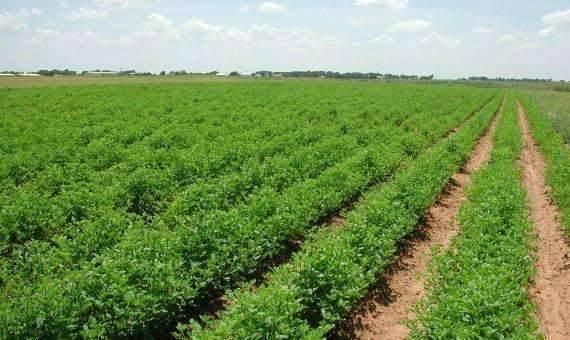 بماذا تشتهر السعودية في الزراعة