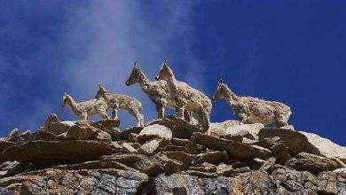 Photo of بماذا تشتهر باكستان في الحيوانات