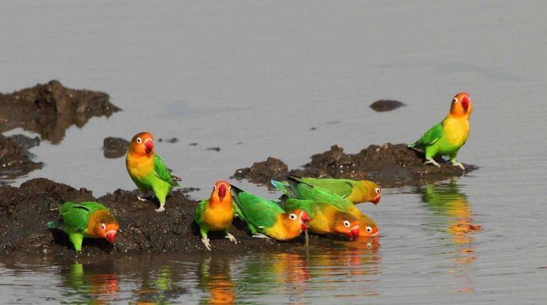 كيف تعرف طيور الحب الذكر من الانثى