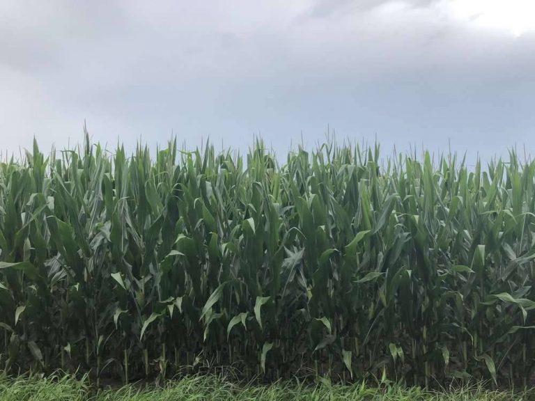 بماذا تشتهر ولاية لويزيانا الأمريكية في الزراعة
