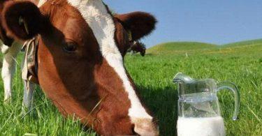 فوائد حليب البقر الطازج في الصباح