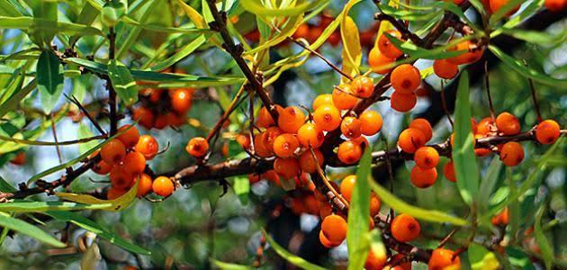 فوائد شجرة السدر الطبية