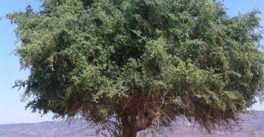 فوائد شجرة السدر في الإمارات