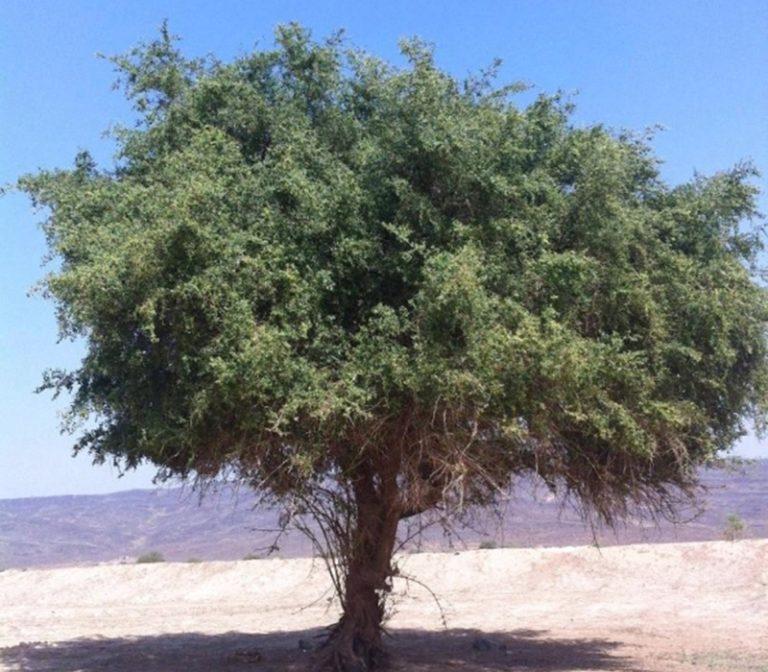 Photo of فوائد شجرة السدر في الامارات