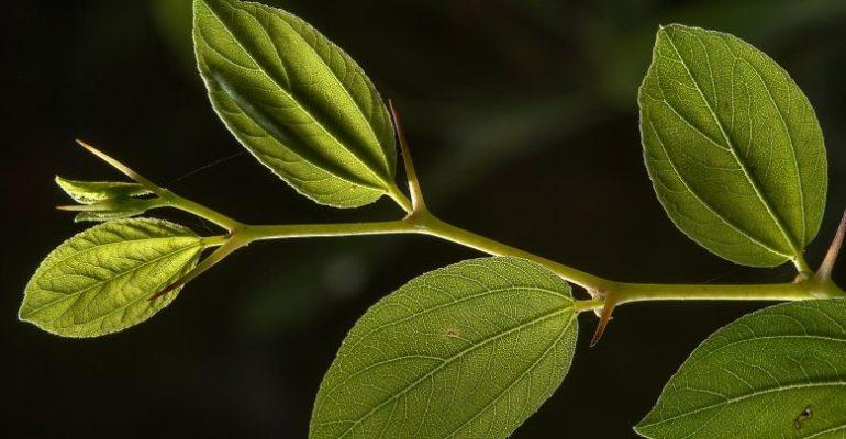 فوائد شجرة السدر في البيت