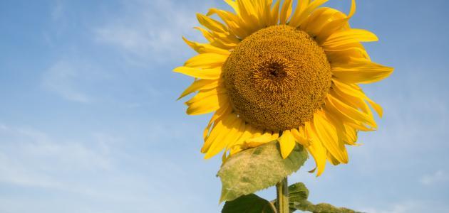 فوائد زيت دوار الشمس واضراره