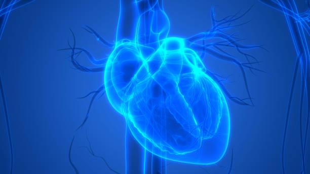 ماهو القلب