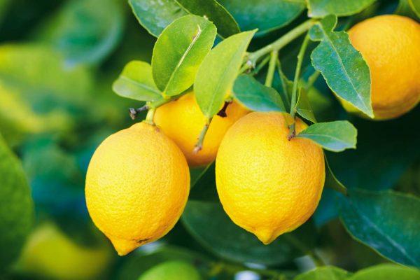فوائد الليمون للجسم