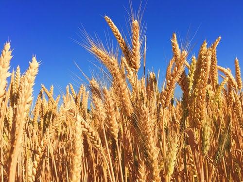 ماهو القمح