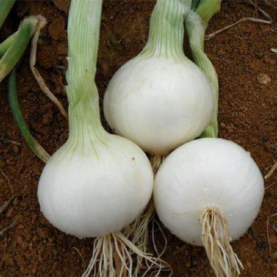 البصل الأبيض الحلو الإسبانيّ