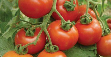 افضل انواع الطماطم في السعودية