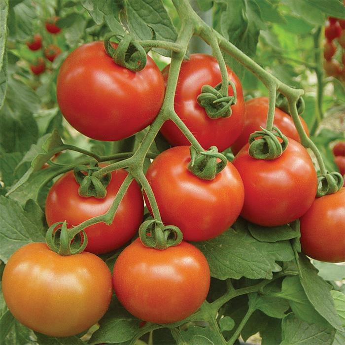 Photo of افضل انواع الطماطم في السعودية